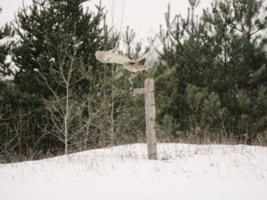 Great Grey Owl: Greenwood Conservation Area